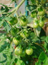 Unripe Yellow Pear Tomatoes Royalty Free Stock Photo