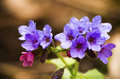Unspotted lungwort or suffolk lungwort pulmonaria obscura colorful wild forest flowers in spring lithuania Royalty Free Stock Images