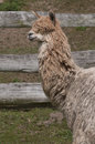 Untrimmed llama Royalty Free Stock Photo