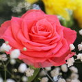 Unusual Beautiful pink rose background Royalty Free Stock Photo