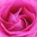 Unusual Beautiful tender pink rose background Royalty Free Stock Photo