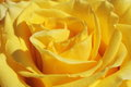 Unusual Beautiful tender yellow rose background Royalty Free Stock Photo