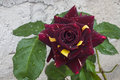 Unusual Dark Burgundy and Yellow Bicolor Rose Royalty Free Stock Photo