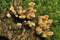 Unusual parasitic fungi this is seen here attached to the stump of an ash tree Stock Images