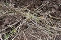 Unwanted plant, dry straw on mud