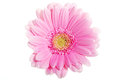 Up front view on pink gerbera flower isolated white Stock Image