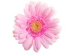 Up front view on pink gerbera flower isolated white Stock Photos