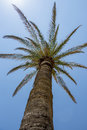 Up view of a palm tree Royalty Free Stock Photo