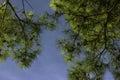 Hore z borovica stromy a zrušte modrá obloha borovica kužele jasne viditeľný