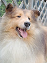 Upclose del seehpdog delle Shetland Fotografia Stock