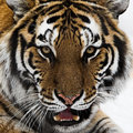 Upclose shot of Tiger head Royalty Free Stock Photography