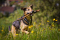 Uphill mixed breed dog when retrieving a stick while she runs on a blümenwiese Stock Photography