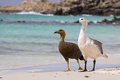 Upland geese couple Royalty Free Stock Photo