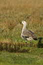 Upland goose chloephaga picta single male on grass falklands Royalty Free Stock Photography