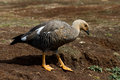 Upland goose female falkland islands Royalty Free Stock Image