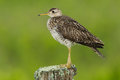 Upland Sandpiper Royalty Free Stock Photo
