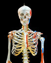 Upper half of human skeleton on white isolated Stock Photography