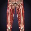 Upper legs muscles anatomy illustration of d render Royalty Free Stock Photos