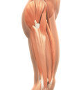 Upper legs muscles anatomy isolated on white background d render Royalty Free Stock Photo
