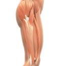 Horní nohy svaly