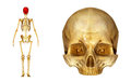 Upper skull Royalty Free Stock Photo