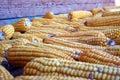 Uprawy kukurydzy jesienią Zdjęcie Stock