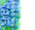 Upright bugle blue beauty of flowers Royalty Free Stock Images