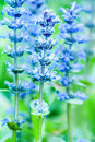 Upright bugle blue beauty of flowers Royalty Free Stock Photos