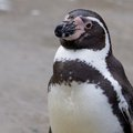 Upright humboldt penguin cute portrait on the beach Royalty Free Stock Photography