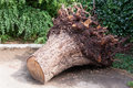 Uprooted stump of the tree in the park Royalty Free Stock Photo