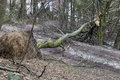 Uprooted trees after storm Stock Image