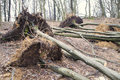 Uprooted trees after storm Royalty Free Stock Photos