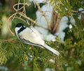Upside down chickadee. Stock Photography