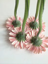 Upside down pink daisies Royalty Free Stock Photo