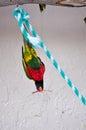Upside down Rainbow Lorikeet bird, Florida Royalty Free Stock Photo