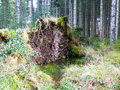 Upturned tree in kielder forest roots of a Stock Photography