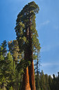 Upward angle of Redwood tree Royalty Free Stock Photo