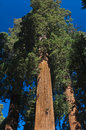 Upward angle of Redwood tree Royalty Free Stock Photo