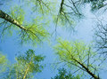 Upward view of autumn trees Stock Photos