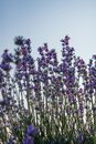 Upward view of lavender flowers against the clear blue sky Royalty Free Stock Photo