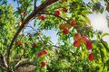 Upward view of peach fruits ripening on tree Royalty Free Stock Photo