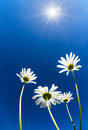 Upward view of white daisy flowers against sunny sky Royalty Free Stock Photo