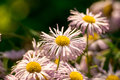 The ural camomile in a garden Royalty Free Stock Image