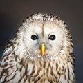 Ural owl Stock Photos
