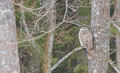 An ural owl on a perch in daylight Royalty Free Stock Images
