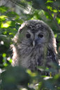 Ural owl the sitting on the perch Stock Images