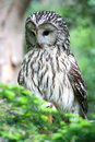Ural owl sitting on the tree Royalty Free Stock Photo