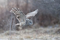 Ural owl strix uralensis flying in a forest near reci nature reserve natural covasna romania the is smaller than the great grey Stock Image