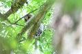 Ural owl strix uralensis momiyamae chick in japan Stock Photography
