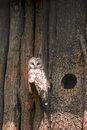 Ural Owl (Strix uralensis) perching on wooden tree branch